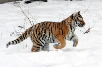 tiger-cub-586063_1920