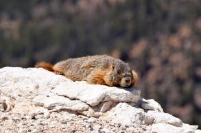 yellow-bellied-marmot-2116412_1280